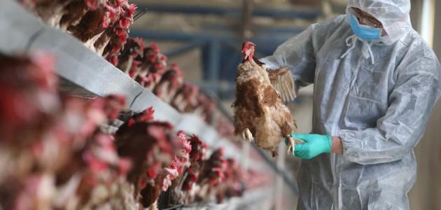 إنفلونزا الطيور وآلية انتقال العدوى