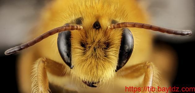 لسعات النحل والدبابير وتخفيف أثرها