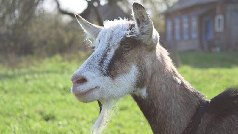 فوائد حليب الماعز للعقم وللاطفال لزيادة الوزن والمناعة